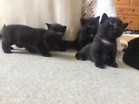 Kittens for sale, mainly black available to good homes