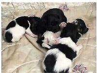 Jackapoo cross Jack Russell puppies