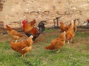 Point of lay hens Strathalbyn Alexandrina Area Preview