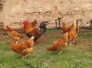 Fertile chook eggs Strathalbyn Alexandrina Area Preview