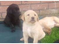 Labrador Puppies for sale KC registered Black, Golden and Fox Red