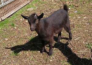 dwarf baby goats for sale