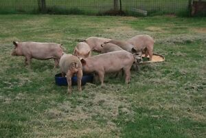 PIGS, COMPLETE DISPERSAL, BOARS,SUCKERS/GROWERS and SOWS FOR SALE Giants Creek Muswellbrook Area Preview