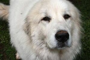 Lost Dog - George, Great White Pyrenees