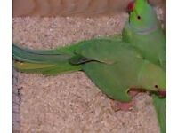 green mutation blue indian ringneck bonded pair with dna papers and close rung with or without cage
