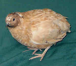 I AM LOOKG FOR: COTURNIX QUAIL -- Gold or Fawn colour