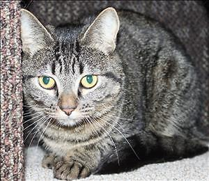 """Young Female Cat - Domestic Short Hair: """"Zoe"""""""