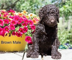 ***Standard Poodle Puppies***