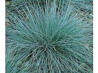 Evergreen plants (grasses) – Festuca Glauca Intense Blue £3.00 (Avail. from 16 June)