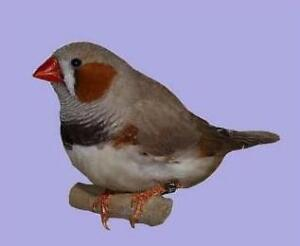 male finch just died looking for partner for his lonely brother
