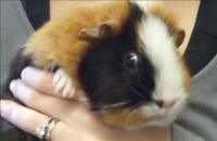"Adult Female Small & Furry - Guinea Pig: ""Lilly"""
