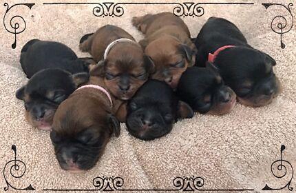 Dashalier puppies ( Cavalier x Dashound )