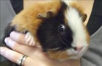 """Adult Female Small & Furry - Guinea Pig: """"Lilly"""""""