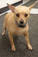 """Adult Male Dog - Chihuahua: """"Repo - gentle young Chi"""""""