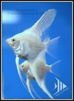 Adult Pearlscale Snow white Angelfish