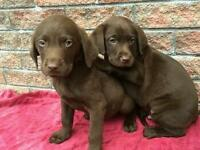 Choclate Labrador puppies