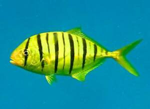 marine fish golden trevally Marangaroo Wanneroo Area Preview