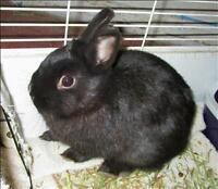 "Young Female Rabbit - Rex: ""Jet"""