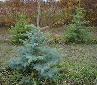 BLUE SPRUCE FOR SALE!!! 2-3 feet at $10 a foot.