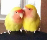 Peach Face Love Birds + Cage + Toys + Seed + Millets