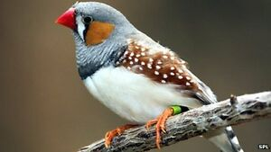 Zebra Finch Pair for sale and their newborn baby + Cage