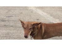 Missing Dog - Rudy