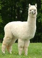 4 REGISTERED ALPACAS FOR SALE