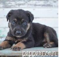 German Shepard Cross Puppy