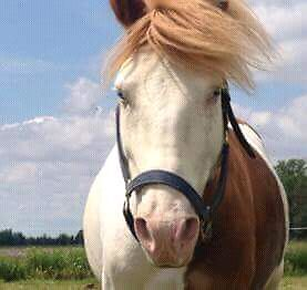 Safe, stocky pony available for part board