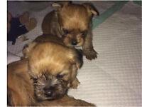 Shorkie pups