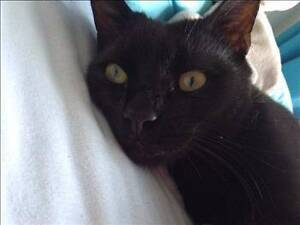 RSPCA LOST CAT - BUBBADAY AID990879 - SINNAMON PARK - 18/02/17 Sinnamon Park Brisbane South West Preview