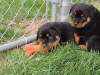 fghgjm Beautifully Rottweiler Puppies ready now AKC REGISTERED,
