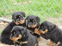etrytuj Beautifully Rottweiler Puppies ready now AKC REGISTERED