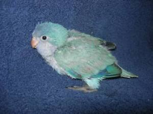 ** HANDFED & HAND TAMED SUPER SWEET BABY BLUE QUAKERS**