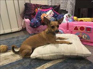 RSPCA LOST DOG - MICRO AID982365 - MANGO HILL - 09/01/17 Mango Hill Pine Rivers Area Preview