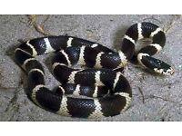 Cali king snake adult