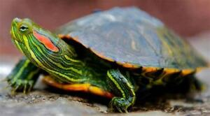 Funny Red Eared slider turtles