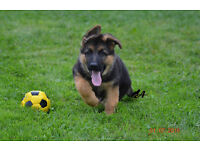 Adorable German Shepherd Puppy for Same