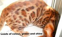TICA registered   BENGAL KITTENS    only TWO LEFT !!!!!!!