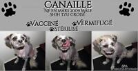 """Adult Male Dog - Shih Tzu: """"Canaille"""""""