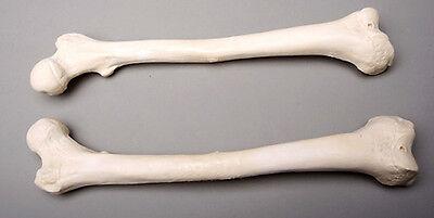 Halloween Horror Femur Bones, Life-Size Human Skeleton, Left & Right, NEW
