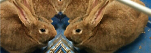 Pure Breed New Zealand Rabbits for Sale