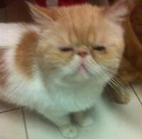 """Adult Female Cat - Exotic Shorthair: """"Hilly"""""""