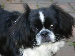 Looking for a pekingese