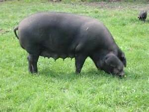 Pure Bred Large Black pigs for sale (adults)