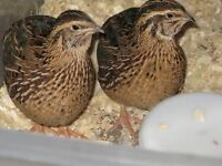 Looking to buy quail