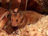 6 months male brown syrian hamster