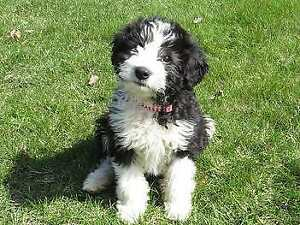 Looking for a Bordoodle Puppy