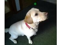 Lovely Golden Labrador - 1 Years Old - Needs a Forever Home