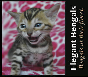 FOR SALE 5 BENGAL Kittens TICA CHAMPION LINES-OTTAWA!!!!